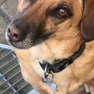 Hunden Cardi iført hundetegn formet som kødben.
