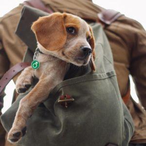 Den lille Beagle Poul bærer et grønt hundetegn med mandetegn.